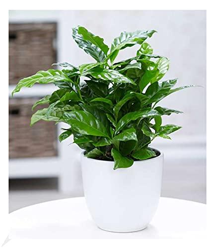 BALDUR Garten Coffea Arabica, 1 Pflanze Kaffe...