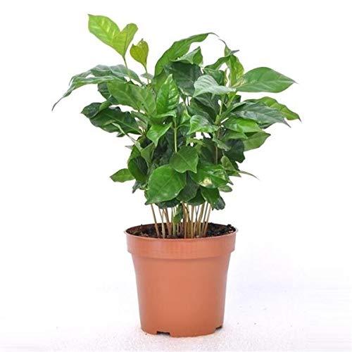 Coffea arabica 25 cm Kaffee Pflanze Kaffeestr...